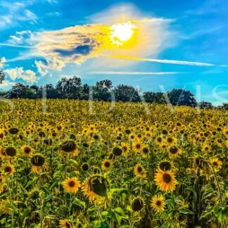 Field of Sunshine Smiles - S L Davis Photography