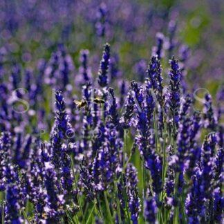 Honey Bee Lavender Kisses - S L Davis Photography