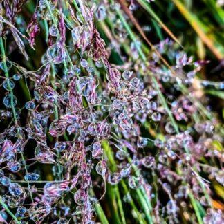 Natures Jewels of Dew - S L Davis Photography