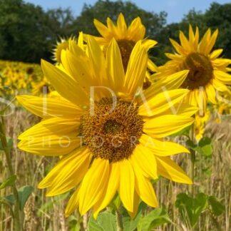 Sunflower Smile - S L Davis Photography