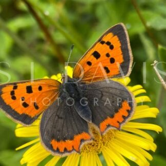 A Dandy Small Copper - S L Davis Photography