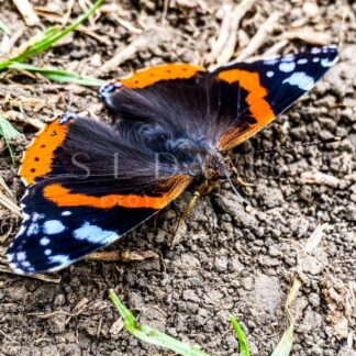 Admirable red admiral - S L Davis Photography