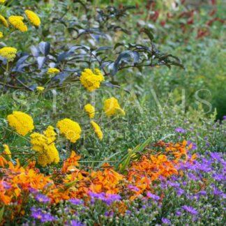 Festival of Floral Colour - S L Davis Photography