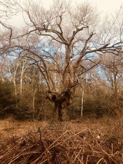 Haunted Oak - S L Davis Photography