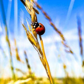 Ladybug Grain - S L Davis Photography
