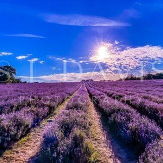 Lavender view - S L Davis Photography