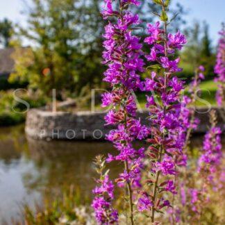 Lilac Light - S L Davis Photography