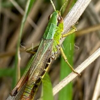 Meadow Green Grasshopper - S L Davis Photography