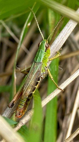 Meadow Green Grasshopper - S L Davis Photography
