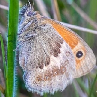 Sleepy Small Heath on the Heath - S L Davis Photography