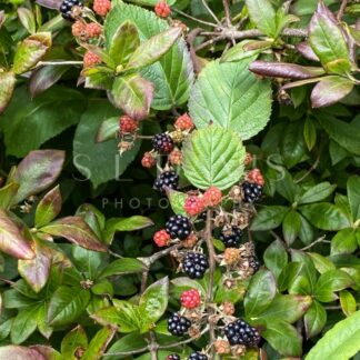 Very berry ripening blackberries - S L Davis Photography
