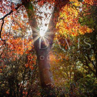 Autumn Glimmer - S L Davis Photography