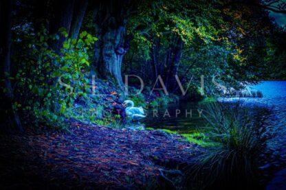 Autumn Hue of a Swan… - S L Davis Photography