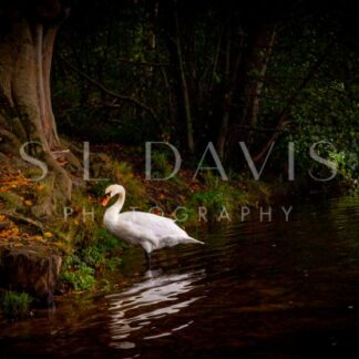 Autumn Mute - S L Davis Photography